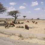 A landscape image showing cows trying to find grass on dry ground.
